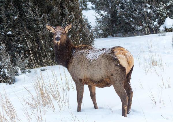 Photograph - Cow Elk by Michael Chatt