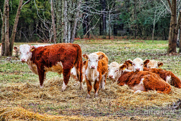 Photograph - Cow Friends At Rest By Diana Sainz by Diana Raquel Sainz