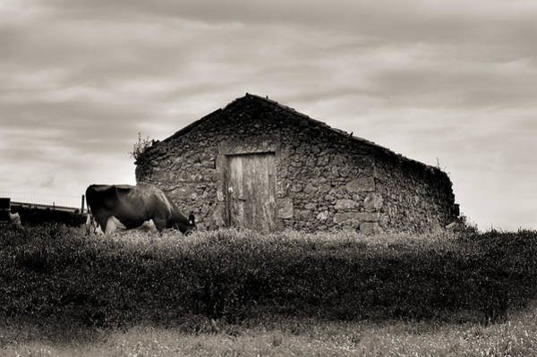 Cow Grazes At Rustic Barn  Art Print