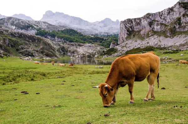 Grazing Photograph - Cow Grazing In The Picos De Europa by Megan Ahrens