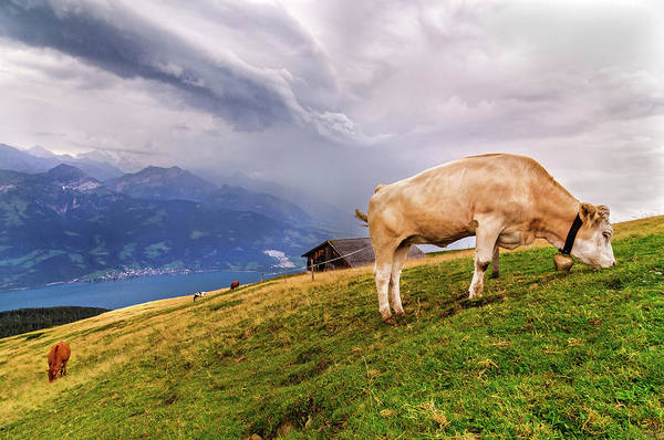 Grazing Photograph - Cow Grazing In The Swiss Alps by © Andrés Valdaliso Martínez