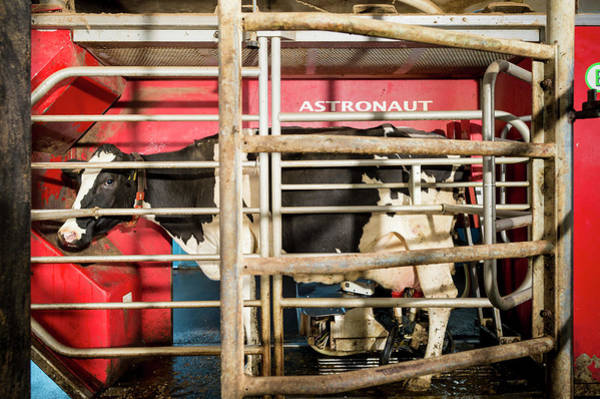 Domesticated Photograph - Cow In Milking Machine by Aberration Films Ltd