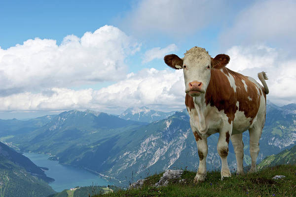 Cow Photograph - Cow In The Mountains by Ra-photos