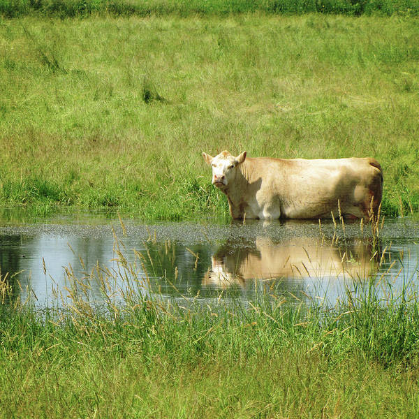 Photograph - Cow In Water by Francois Dion