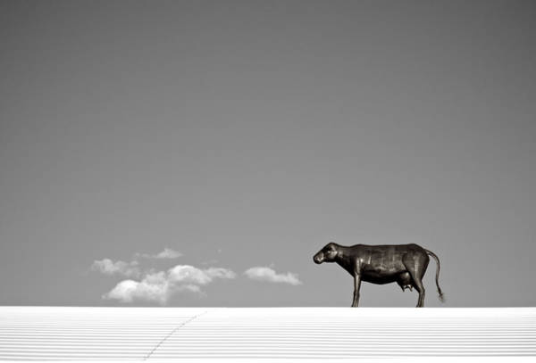 Photograph - Cow On A Hot Tin Roof   Bw by Mary Lee Dereske