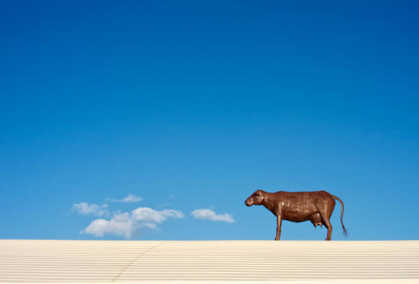 Wall Art - Photograph - Cow On A Hot Tin Roof by Mary Lee Dereske