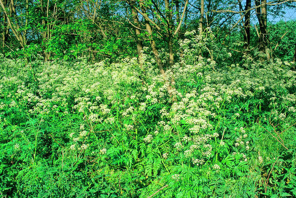 Parsley Photograph - Cow Parsley (anthriscus Sylvestris) by Bruno Petriglia/science Photo Library