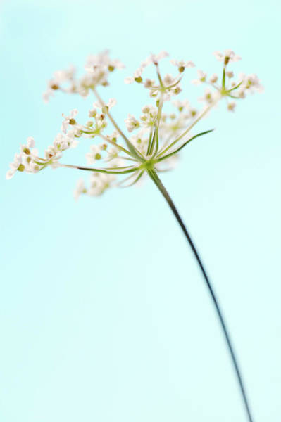 Parsley Photograph - Cow Parsley (anthriscus Sylvestris) by Gustoimages/science Photo Library