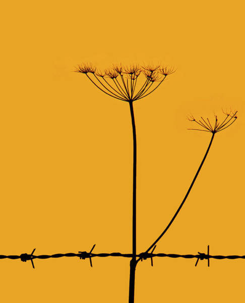 Wild Chervil Wall Art - Photograph - Cow Parsley Sunset by Tracey Davidson