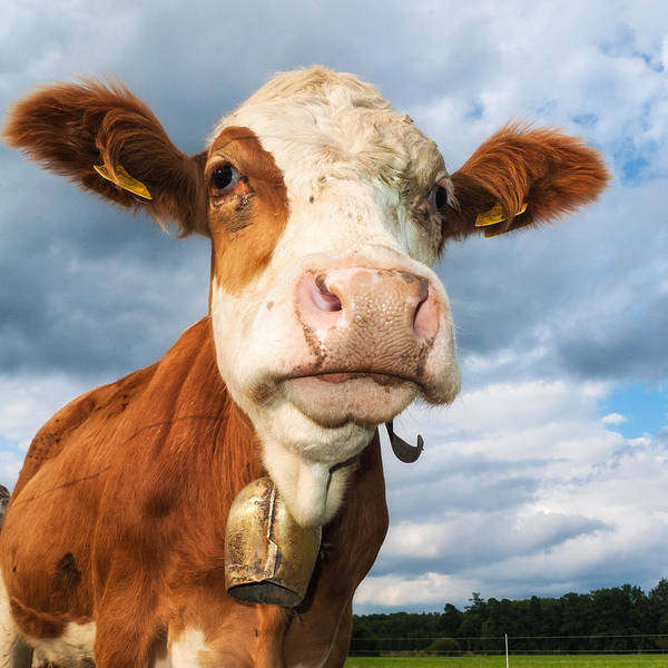Photograph - Cow Portrait by Matthias Hauser