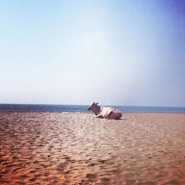 Goa Photograph - Cow Resting On The Beach In Anjuna, Goa by Seiphotos