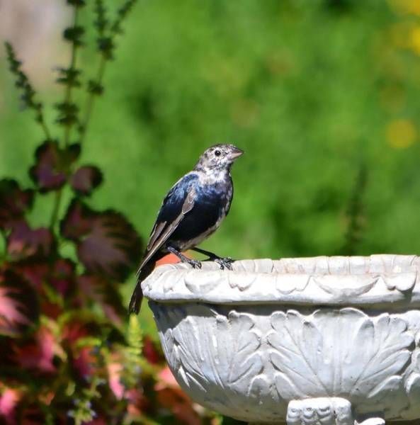 Cowbird Photograph - Cowbird by Deena Stoddard