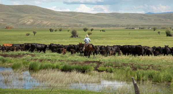 Domesticated Photograph - Cowboy Herding On A Cattle Ranch by Jim West