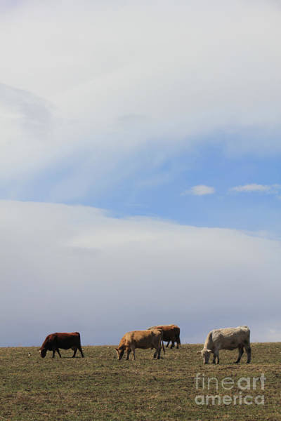 Photograph - Cows And Sky In Cowtown by Donna L Munro