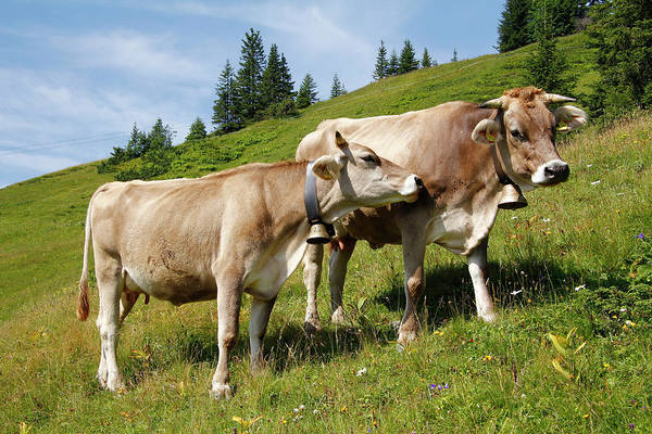 Cow Photograph - Cows At Alpine Meadow, Fellhorn, Bavaria by Hans-peter Merten