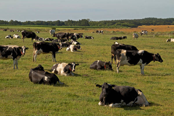 Wall Art - Photograph - Cows At Work 1 by Odd Jeppesen