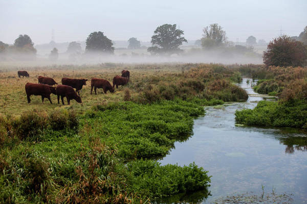 Grazing Photograph - Cows Grazing Early Morning By The River by Simon Rawles