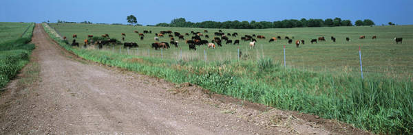 Wall Art - Photograph - Cows Grazing In A Field, Jackson by Animal Images
