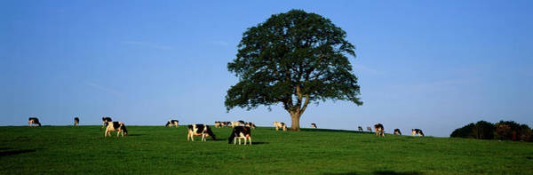 Wall Art - Photograph - Cows Grazing In A Field by Jeremy Walker/science Photo Library