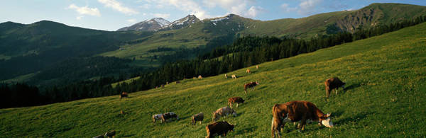 Wall Art - Photograph - Cows Grazing In A Meadow, Swiss Alps by Panoramic Images