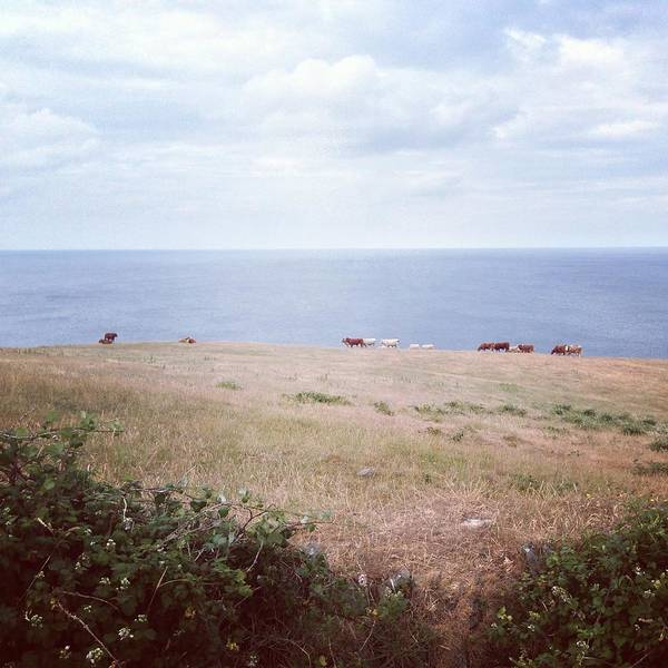 Sea Cow Photograph - Cows Grazing In Field Beside The Ocean by Jodie Griggs