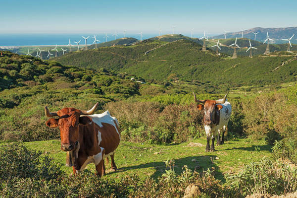 Environmental Conservation Photograph - Cows In A Field With Numerous Wind by Ben Welsh / Design Pics