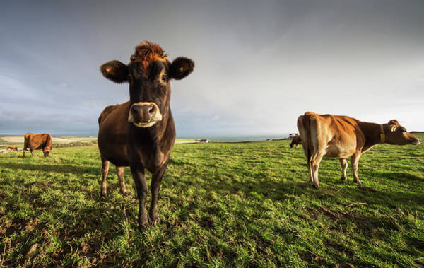 Cow Photograph - Cows In A Field With One Cow Staring At by John Short / Design Pics
