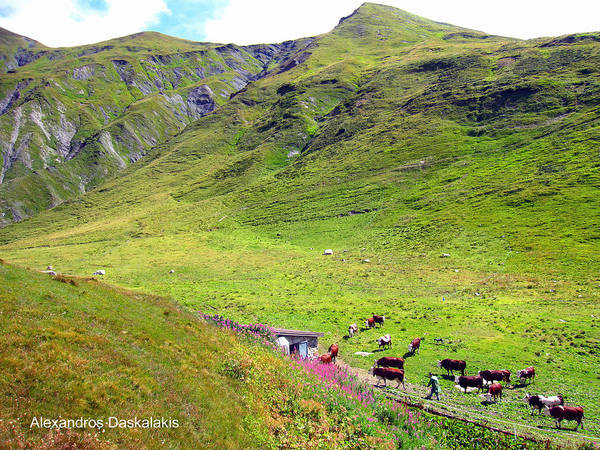 Buy Art Online Photograph - Cows In A Valley by Alexandros Daskalakis