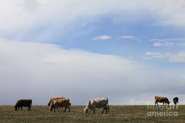 Photograph - Cows In Cowtown by Donna L Munro