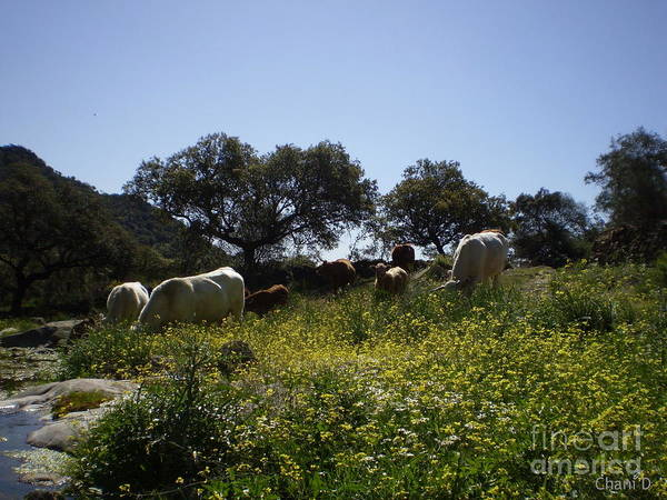 Photograph - Cows In Extremadura by Chani Demuijlder