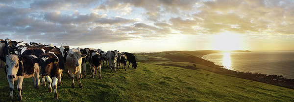 Sea Cow Photograph - Cows In Field Overlooking Coast At by Peter Cade