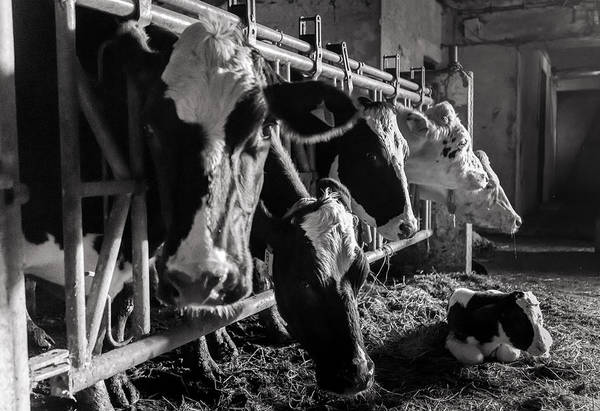 Photograph - Cows In The Barn2 by Joseph Amaral