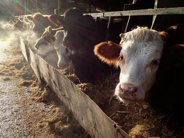 Barn Photograph - Cows Looking Out Of A Barn by James Ephraums