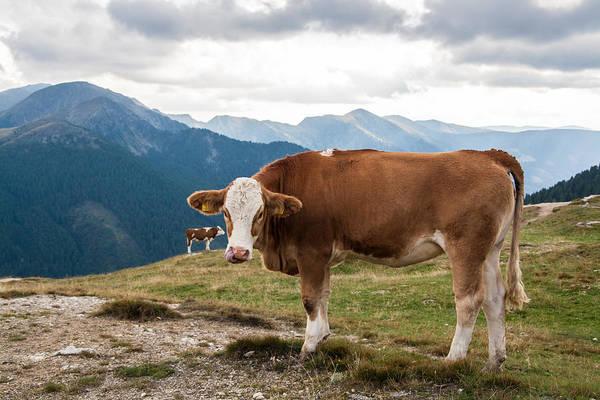 Cows On Field Against Mountains Art Print by John Thurm / EyeEm