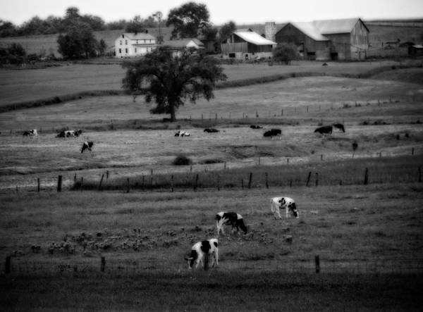 Wall Art - Photograph - Cows On The Amish Farm by Dan Sproul