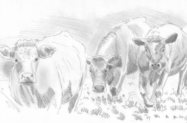 Drawing - Cows Pencil Drawing by Mike Jory