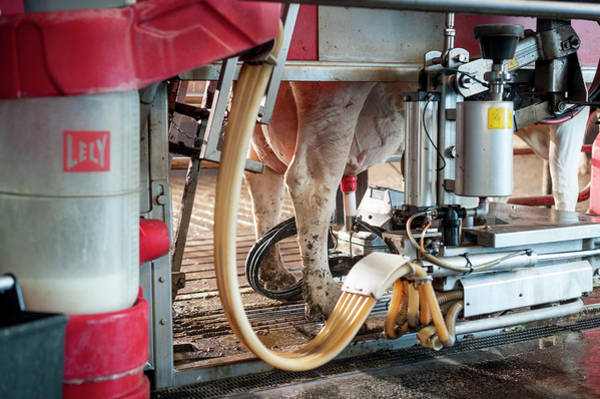 Domesticated Photograph - Cow's Udder In Milking Machine by Aberration Films Ltd