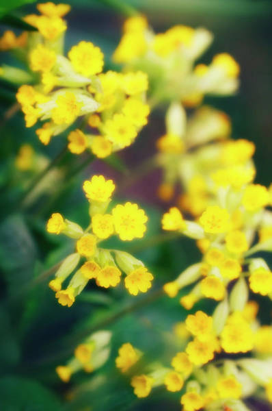 Perennial Photograph - Cowslip (primula Veris) by Maria Mosolova/science Photo Library