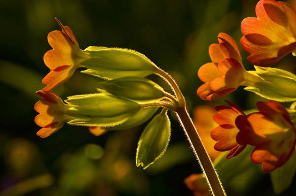 Photograph - Cowslips by Pete Hemington