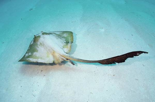 The Maldives Photograph - Cowtail Stingray by Scubazoo/science Photo Library