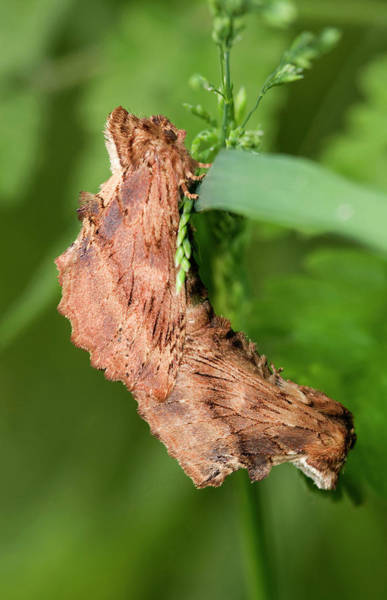 Arthropods Wall Art - Photograph - Coxcomb Prominent Moths Mating by Nigel Downer
