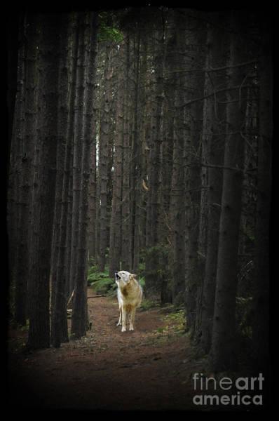 Coyote Howling In Woods Art Print