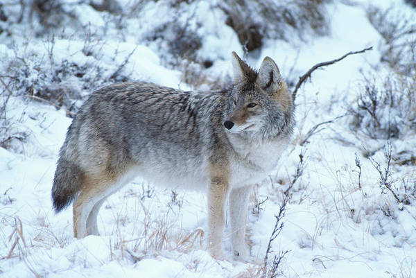 Wall Art - Photograph - Coyote In Snow by Animal Images