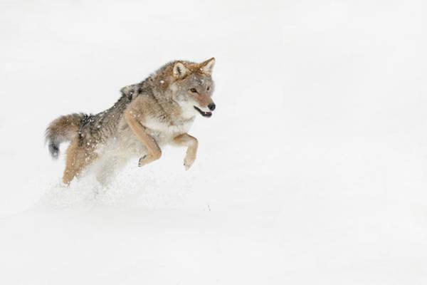 Wall Art - Photograph - Coyote In Snow, Montana by Adam Jones