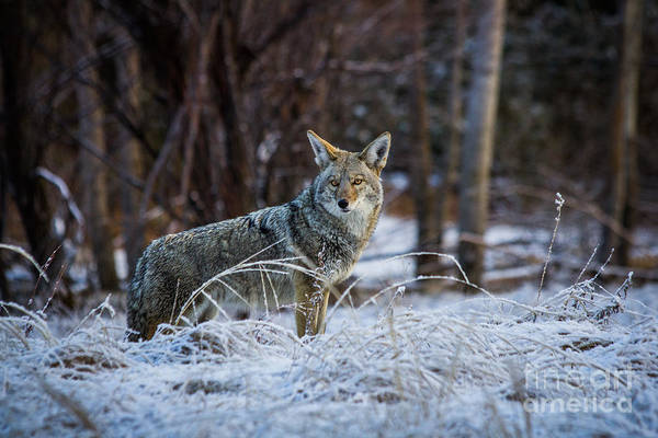 Photograph - Coyote In The Meadow  by Vincent Bonafede