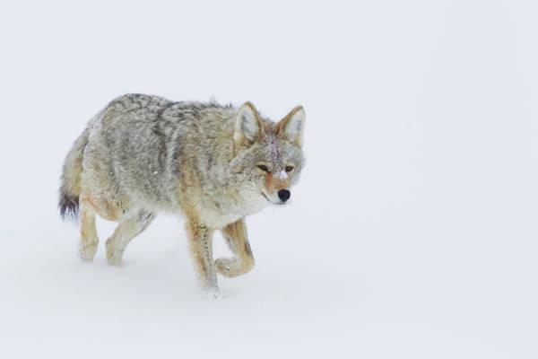 Ken Photograph - Coyote In Winter by Ken Archer