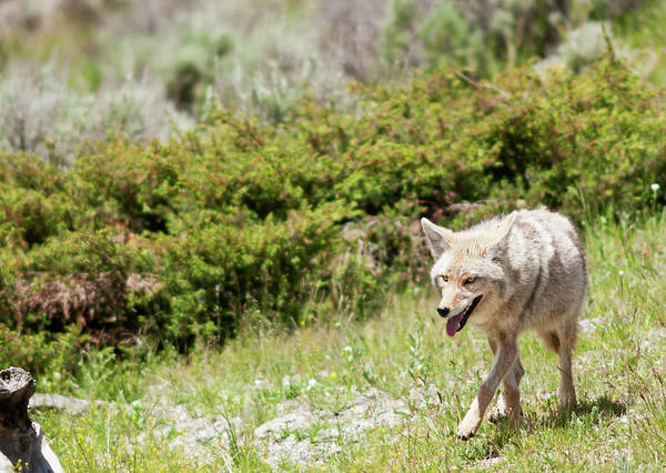 Killing Wall Art - Photograph - Coyote by Mphillips007