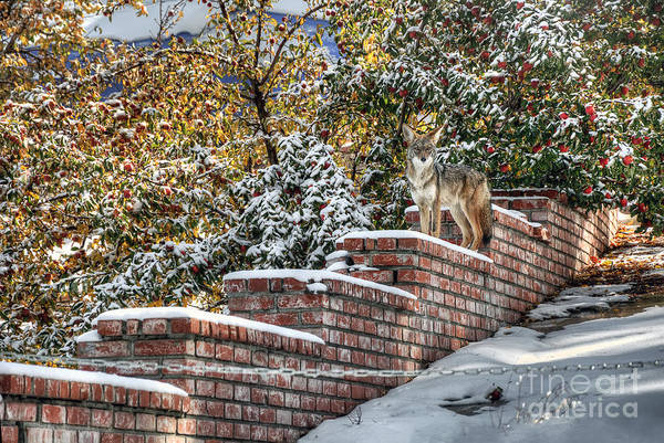 Photograph - Coyote On Guard by Eddie Yerkish