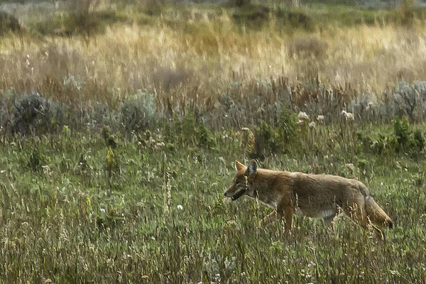 Photograph - Coyote On The Prowl No. 1 - Yelllowstone by Belinda Greb