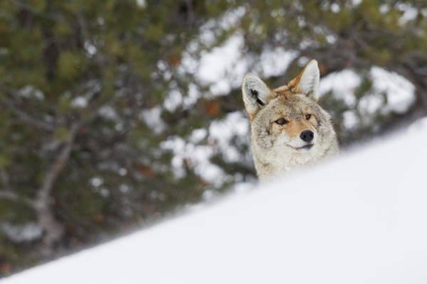 Ken Photograph - Coyote Peeking by Ken Archer